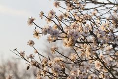 Almond tree blossoms. Close view detail of almond tree blossoms in the nature Royalty Free Stock Photo