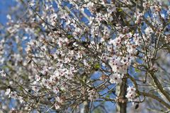 Almond tree blossoms. Close view detail of almond tree blossoms in the nature Royalty Free Stock Photography