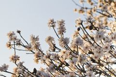 Almond tree blossoms Stock Images