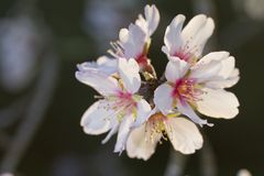Almond tree blossoms Stock Image