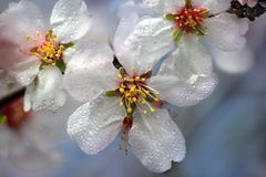 Almond tree blossoms. Flowering almond tree branch in spring, dew drops on flowers stock photo