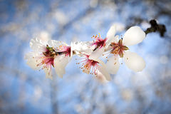 The almond tree blossoms with its fruit Stock Photo