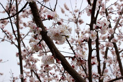 Almond tree blossoms Stock Photography