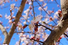 Almond tree blossoms Royalty Free Stock Photos