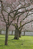 Almond tree blossoms Stock Image