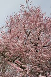 Almond tree blossoms Royalty Free Stock Photo