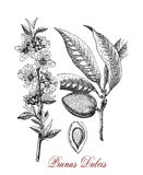 Almond tree,  botanical vintage engraving Stock Images