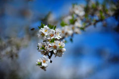 Almond tree branch Stock Image