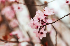 Almond tree branch with pink flowers Stock Photo