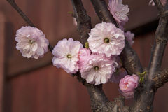 Almond tree branch with pink flowers. Stock Image