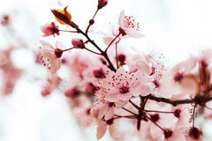 Almond tree  branch Stock Photography