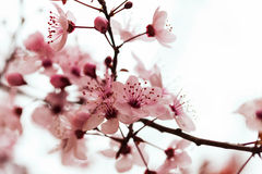Almond tree  branch in spring Royalty Free Stock Photo