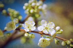 Almond Tree Branch Stock Image