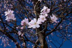 Almond tree branches in bloom. in spring the colors explode, the trees bloom in many colors.  royalty free stock image