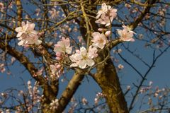 Almond tree branches in bloom. in spring the colors explode, the trees bloom in many colors.  stock photos