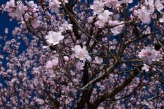 Almond tree branches in bloom. in spring the colors explode, the trees bloom in many colors.  stock image