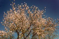 Almond tree branches in bloom. in spring the colors explode, the trees bloom in many colors.  stock photo