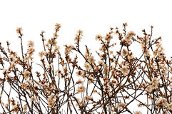 Almond tree branches with flowers Stock Images