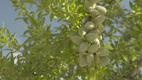 Almond tree branches stock video footage
