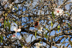 Almond tree and butterfly. Close up of blooming almond tree with butterfly on the flower Stock Photos