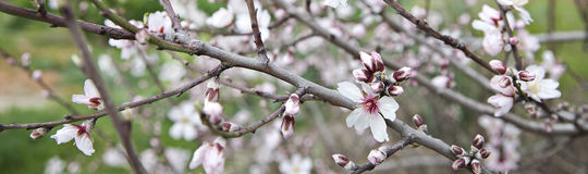 Almond tree Royalty Free Stock Photo