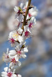 Almond tree close up detail Royalty Free Stock Photography