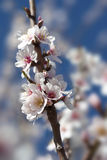 Almond tree close up detail Royalty Free Stock Photo