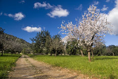 Almond tree in countryside stock images