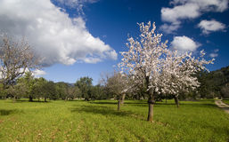 Almond tree in countryside. Scenic view of blossoming Almond tree in countryside under cloudscape and blue sky Stock Photo