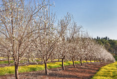 Almond tree field Stock Photos