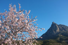 Almond tree in Finestrat. Flowering almond tree in Finestrat, Costa Blanca, Spain Royalty Free Stock Photo