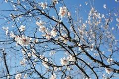 Almond tree stock photo