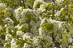 Almond tree royalty free stock photography