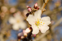 Almond tree flower Stock Photos