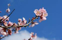 Almond tree flower on blue background Stock Photo