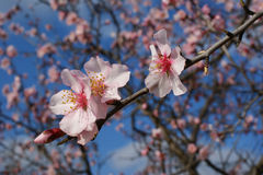 Almond tree flower on blue background Stock Images