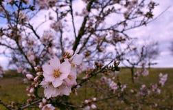 Almond tree flower on blue background Stock Image