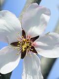 Almond tree flower Royalty Free Stock Photos