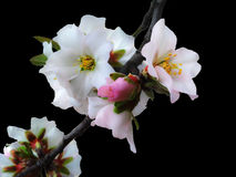 Almond tree flower Royalty Free Stock Images