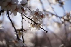 Almond tree flower spring in Spain stock images