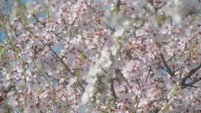 Almond tree flowered stock video