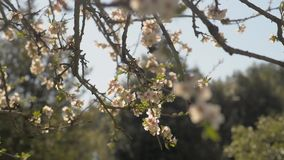 Almond tree flowered stock video footage