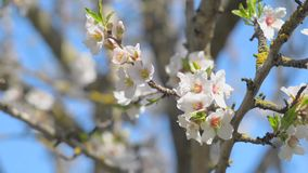 Almond tree flowered stock footage