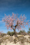 Almond tree. Flowering almond tree against blue sky Royalty Free Stock Photo