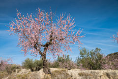 Almond tree. Flowering almond tree against blue sky Royalty Free Stock Images