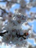 Almond tree flowers Stock Photo