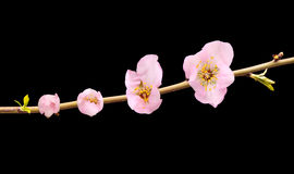 Almond tree flowers. Flowering of a almond tree flower isolated on black Royalty Free Stock Photos