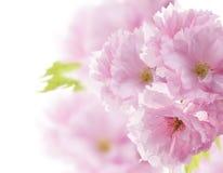 Almond Tree Flowers Stock Photography