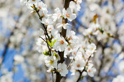 Almond tree flowers Stock Image