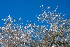 Almond tree flowers against the blue sky in Costitx, Mallorca, Spain Stock Photography